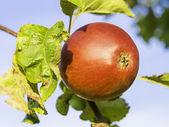 Closeup apple sur l'arbre — Photo