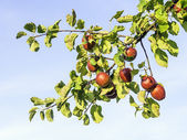 Ripe and red apples — Stockfoto