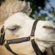 Portrait of a camel — Stock Photo