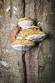 Tinder Fungus — Stock Photo