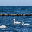 Stock Photo: Three swans