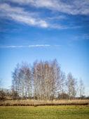 Birches with cloudscape — Foto Stock