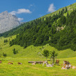 Stock Photo: Flock of cows in alps
