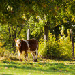 Cow with trees — Stock Photo