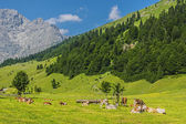 Flock of cows in alps — Foto Stock