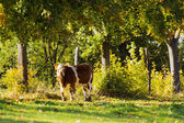 Cow with trees — Foto Stock