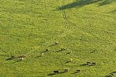 群的母牛 — 图库照片