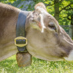 Profile of cow — Stock Photo #40006651