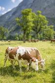 Par de vacas — Foto de Stock