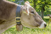 Profile of cow — Stock Photo