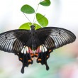 Butterfly papilio bianor — Stock Photo