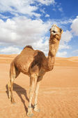 Camel in Wahiba Oman — Stock Photo