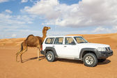 Camel rubs against a car — Stock Photo