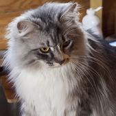 Siberian grey cat — Stock Photo