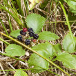 Blackberry in the forest on the Atlantic coast of France — Stock Photo