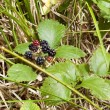 Постер, плакат: Blackberry in the forest on the Atlantic coast of France