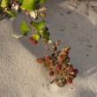 Stock Photo: Blackberry on dunes of Atlantic coast of France