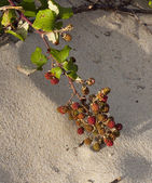 Blackberry on the dunes of Atlantic coast of France — Stock Photo