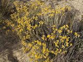 Immortelle - Helichrysum stoechas (L.) Moench. — Stock Photo