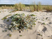 The Sea holly or Eryngium maritimum — Stock Photo