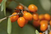 The orange fruit — Stock Photo