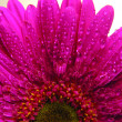 Purple gerbera flower - Stock Photo