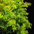 Stock Photo: Green plant with yellow flowers