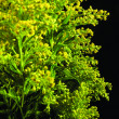 Green plant with yellow flowers — Stock Photo