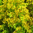 Plant with yellow flowers — Stock Photo