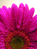 Purple gerbera flower — Stock Photo
