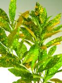 Aglaonema Plant — Stock Photo