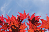 Red autumn leaves against blue sky — Stock Photo