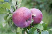 Apples after rain — Stock Photo