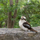 Kookaburra — Photo