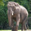 Its majesty elephant .... Sa majeste elephant - Stock Photo