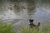 Dog watching on ducks — Stock Photo