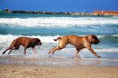 Dog chase — Stock Photo