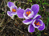 Purple crocuses — Stock Photo