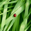 Ladybug running along on blade of green grass. Beautiful nature — Stock Photo