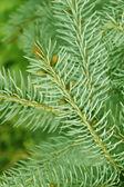 Fir-träd gren — Stockfoto