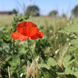 Red flower poppy in a grass - Stock Photo