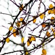 Yellow leaves on the tree — Stock Photo
