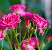 Roze rozen in de tuin — Stockfoto