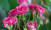 Pink roses in the garden — Stock Photo