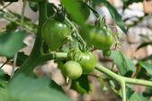 グリーン トマト温室の — ストック写真