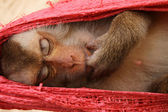 Sleeping monkey — Stock Photo