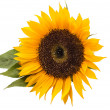 Sunflower6 — Stock Photo