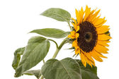 SunflowerFoliage — Stock Photo