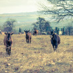 ������, ������: Goats on a farm