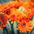 Stock Photo: Orange gerberas
